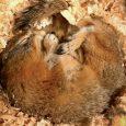 hibernating_arctic_ground_squirrel_lesa_hollen