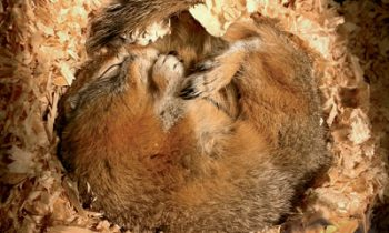 hibernating_arctic_ground_squirrel_lesa_hollen