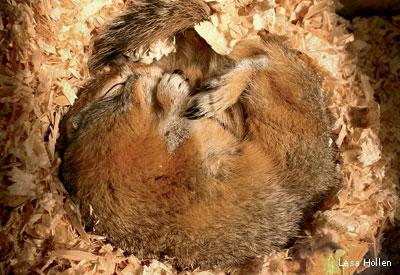 Ground squirrels hibernate for seven to nine months