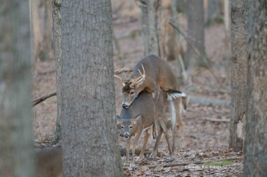 Hunting the Whitetail Rut: Tactics to Increase your Success