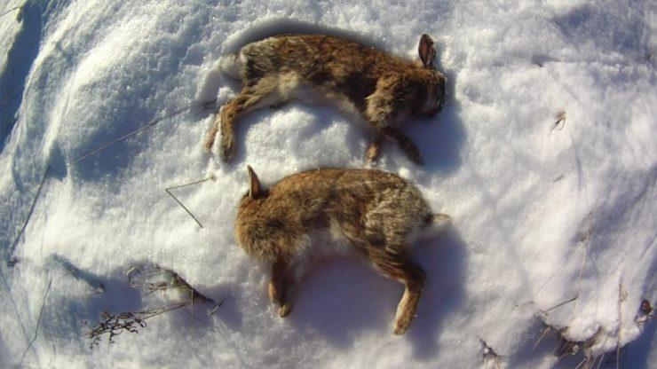 late season Cottontail Rabbit hunting