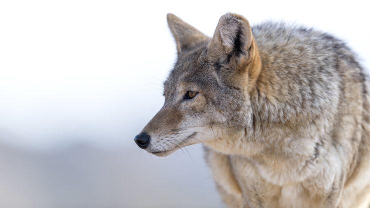 late season coyote hunting