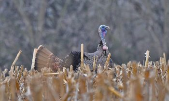 turkey-hunting-tips-small-properties-struting-tom