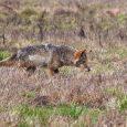 coyote hide
